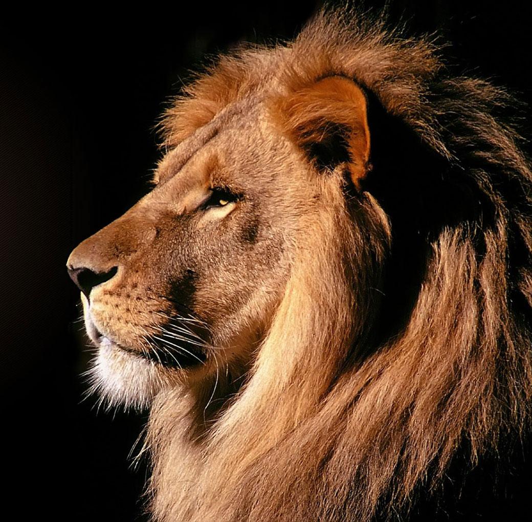 Lion looking fierce