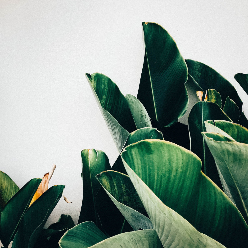 large tropical green leaves
